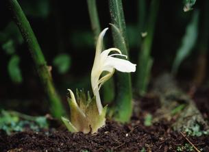 ミョウガの花の写真素材 [FYI03289519]
