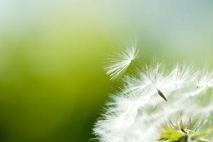 タンポポの綿毛の写真素材 [FYI03289720]