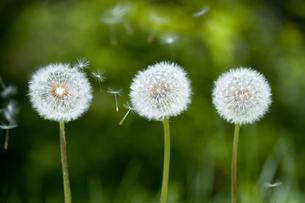 タンポポの綿毛の写真素材 [FYI03289738]