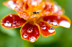 水滴の付いたマリーゴールドの花とハエの写真素材 [FYI03289753]