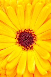 ガーベラの花アップの写真素材 [FYI03289777]