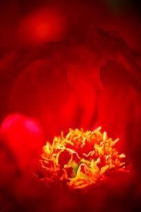 赤い花の写真素材 [FYI03289783]