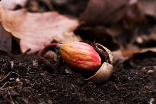 根が出るコナラのドングリの写真素材 [FYI03289843]