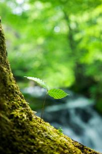 ブナの若苗と川の流れの写真素材 [FYI03289906]