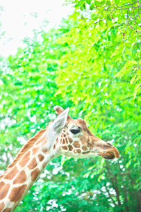 北海道旭山動物園のキリンの写真素材 [FYI03289979]