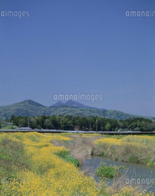菜の花と筑波山の写真素材 [FYI03290388]