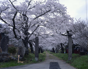 護真寺の桜並木の写真素材 [FYI03291921]