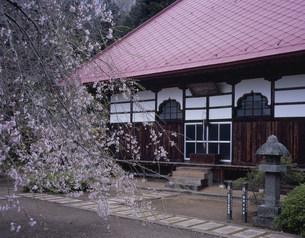 護真寺のしだれ桜の写真素材 [FYI03291923]