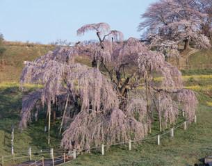 三春の滝桜の写真素材 [FYI03291939]
