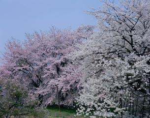 だるま桜の写真素材 [FYI03292196]