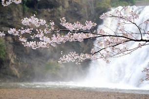 龍門の滝と桜の写真素材 [FYI03292568]