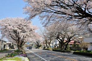 日光街道桜並木(桜百選)の写真素材 [FYI03293215]