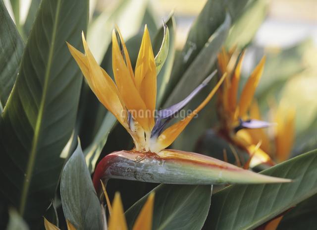 ストレリチア(極楽鳥花)冬の写真素材 [FYI03294096]