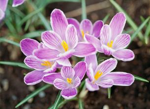 クロッカス 春の写真素材 [FYI03294133]