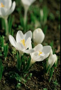 クロッカス 春の写真素材 [FYI03294250]