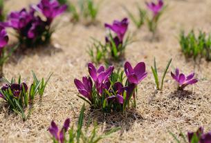クロッカス 春の写真素材 [FYI03294290]