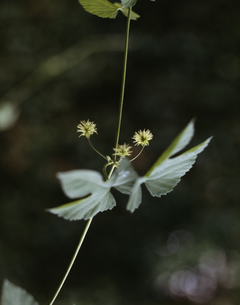 ホップ 薬用植物の写真素材 [FYI03294321]
