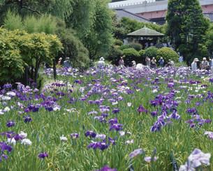 堀切菖蒲園の花菖蒲の写真素材 [FYI03297887]