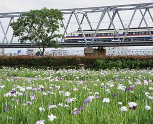 花菖蒲 小岩菖蒲園の写真素材 [FYI03297892]