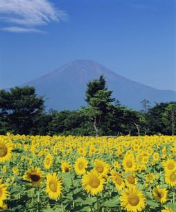 富士山とヒマワリの写真素材 [FYI03298015]