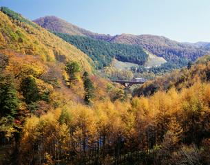 西沢渓谷から松の紅葉と音取大橋の写真素材 [FYI03298034]