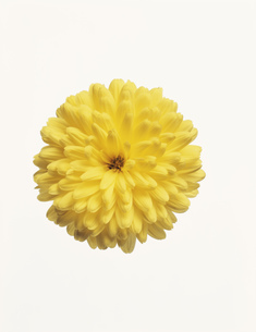 菊の写真素材 [FYI03298094]