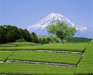 新緑の茶畑と富士山の写真素材 [FYI03298176]