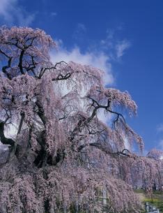 三春の滝桜の写真素材 [FYI03298916]