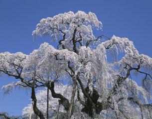 三春滝ザクラの写真素材 [FYI03299055]