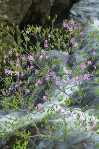 トウゴクミツバツツジ咲く竜頭の滝の写真素材 [FYI03299486]