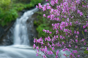 トウゴクミツバツツジ咲く竜頭の滝の写真素材 [FYI03299487]