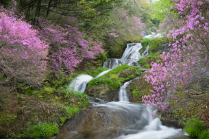 トウゴクミツバツツジ咲く竜頭の滝の写真素材 [FYI03299503]