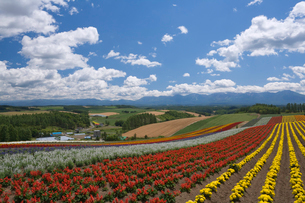 マリーゴールドとサルビアの花畑 四季彩の丘の写真素材 [FYI03299524]