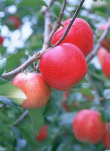 りんご 陽光の写真素材 [FYI03299671]