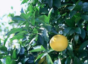 グレープフルーツの写真素材 [FYI03299677]
