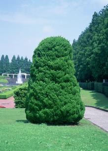 カイヅカイブキ ヒノキ科 相模原公園の写真素材 [FYI03299756]