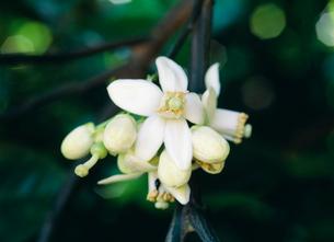 ブンタンの花 ミカン科の写真素材 [FYI03300008]