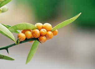 キンズ(金豆) ミカン科の写真素材 [FYI03300033]