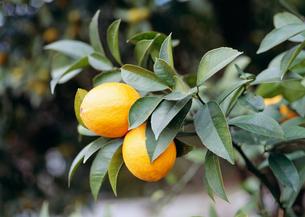 マイヤーレモンの写真素材 [FYI03300089]
