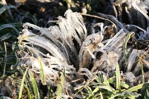草の中の霜柱の写真素材 [FYI03300282]