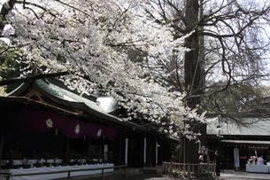 大宮八幡宮 随身門に咲く桜の写真素材 [FYI03300526]