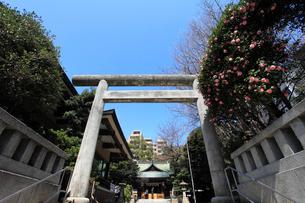 椿咲く大塚天祖神社の写真素材 [FYI03300531]