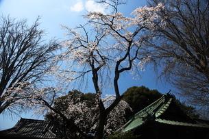 水元香取神社の垂れ桜の写真素材 [FYI03300578]