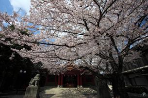 旗岡八幡神社拝殿と桜の写真素材 [FYI03300877]