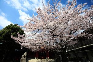 旗岡八幡神社拝殿と桜の写真素材 [FYI03300943]