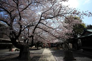 旗岡八幡神社参道の写真素材 [FYI03300944]
