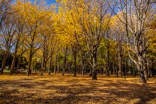 代々木公園のイチョウの紅葉の写真素材 [FYI03301720]