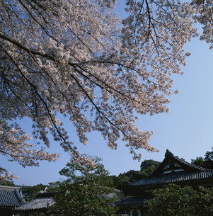 泉涌寺・桜と伽藍の写真素材 [FYI03303433]
