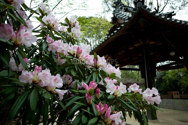 シャクナゲと鐘楼、四国八十八ヶ所、第58番仙遊寺の写真素材 [FYI03303580]