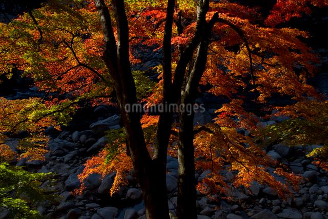 紅葉の香嵐渓の写真素材 [FYI03303590]